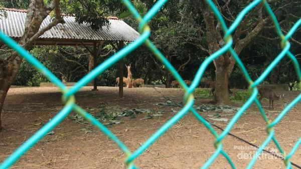Penangkaran Rusa Pulau Bawean Pun Sukses Menjaga Populasi Kab Gresik