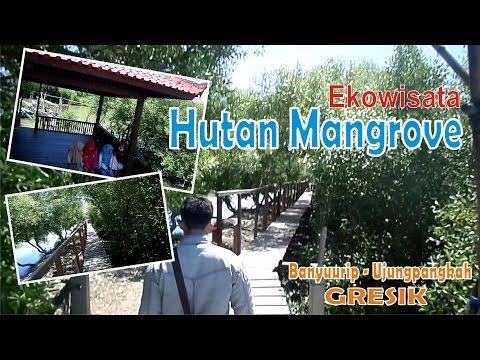 Mangrove Banyuurip Ujungpangkah Gresik Wisata Pusat Kab