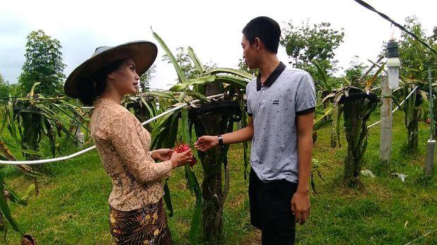 Gresik Punya Wisata Agro Petik Buah Naga Penasaran Pengunjung Bisa