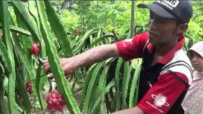 Kampung Petik Buah Naga Diserbu Pengunjung Pojok Pitu Jelang Imlek