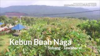 Kebun Naga Allnews Web Buah Cijambe Kab Subang Jabar Wisata