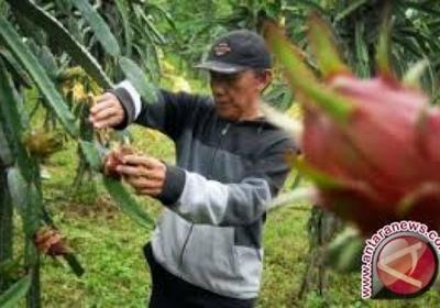 Pesona Wisata Gresik Agro Petik Buah Naga Petani Parigi Panen