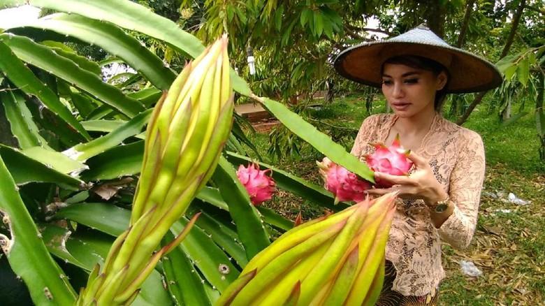 Punya Wisata Agro Petik Buah Naga Penasaran Gresik Kebon Agung