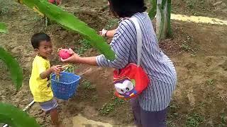 Video Wisata Petik Buah Naga Damar Kebon Agung Kab Gresik