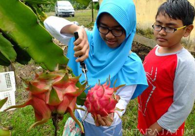 Wisata Petik Buah Naga Tempati Lahan 7 Hektare Agrowisata Rembangan