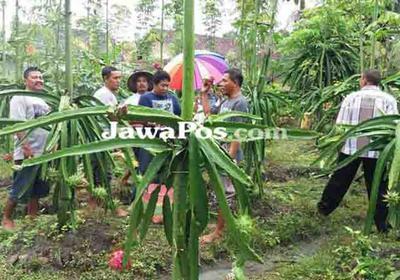 Wisata Petik Buah Naga Tempati Lahan 7 Hektare Warga Paowan