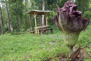 Fenomena Gunungkidul Bunga Bangkai Mekar Hutan Wanagama Kuncup Mulai Desa