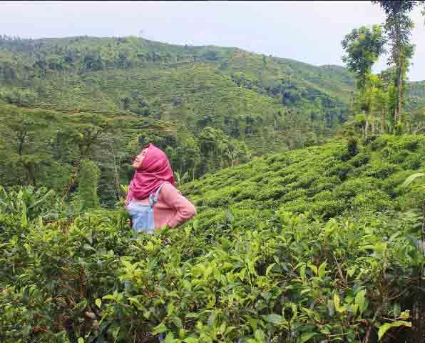 Tempat Wisata Jember Terbaru 2018 Biaya Murah Meriah Kebun Teh