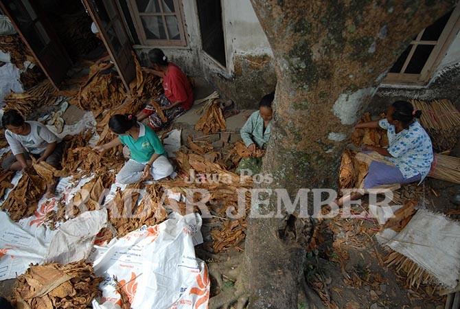 Kalisat Pelopor Tembakau Jember Kecamatan Museum Huruf Kab