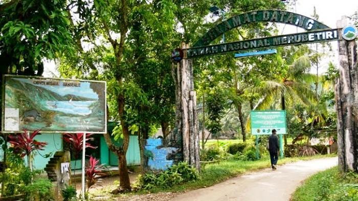 60 Banteng Tersebar Taman Nasional Meru Betiri Jember Banyuwangi Kab