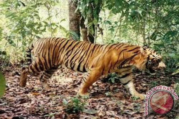 Existence Javanese Tigers Meru Betiri Proven Antara News Taman Nasional