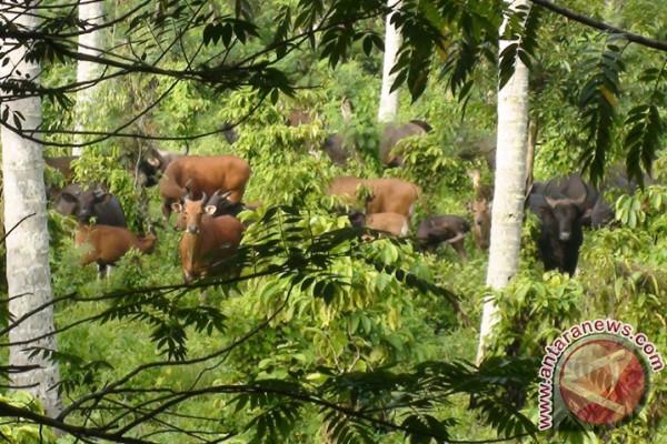 Taman Nasional Meru Betiri Miliki 60 Banteng Antara News Jawa