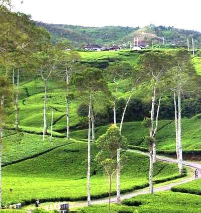 Tiket Masuk Kebun Teh Kemuning Karanganyar Tawangmangu Solo Salah Satu