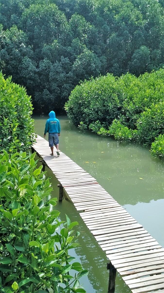 30 Pemandangan Cantik Hutan Mangrove Ayah Kebumen Infokebumen Jalur Tracking