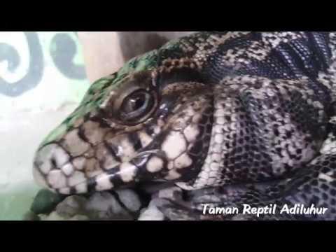Taman Reptil Adiluhur Youtube Kab Kebumen