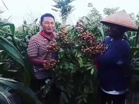 Kelengkeng Desa Jambu Kediri Youtube Istana Kab