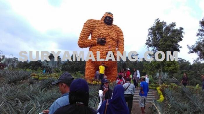 King Kong Lahir 2 5 Ton Jagung Lereng Gunung Kelud