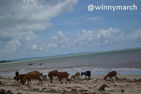 Maret 2013 Winny Marlina Kambing Disekeliling Batu Nona Pantai Kupang