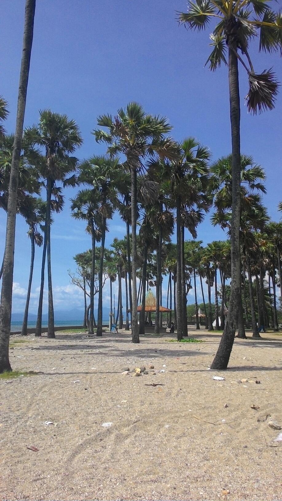 Kupang Duc Altum Pohon Lontar Pinggir Pantai Lasiana Kab