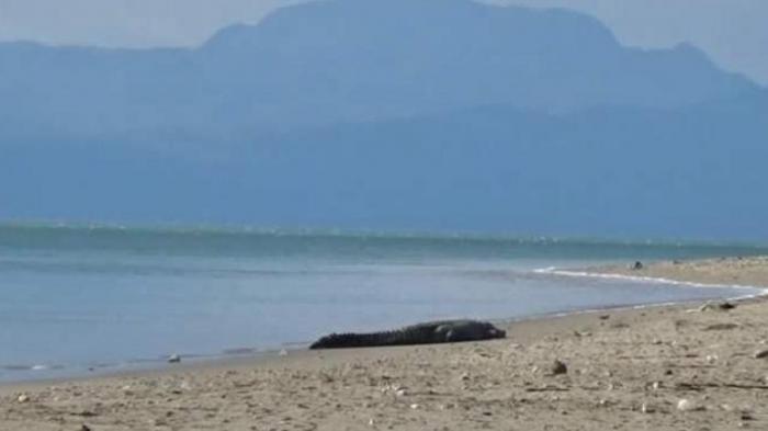 Pantai Lasiana Kupang Menangkap Buaya Jadi Perlombaan Hadiahnya Jutaan Rupiah