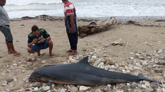 Ikan Lumba Sepanjang Dua Meter Terdampar Pantai Manikin Kabupaten Kupang
