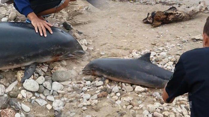 Lumba Sepanjang Dua Meter Terdampar Pantai Manikin Kupang Tribunnews Kab