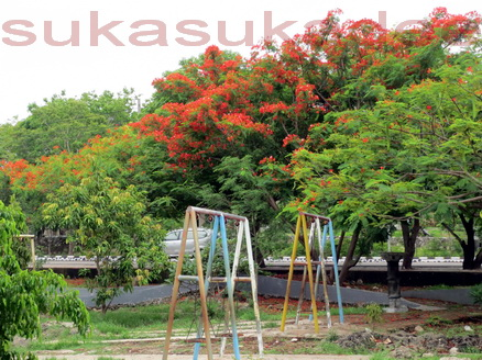 Wisata Kota Kupang Suka Dee Bunga Sepe Menandakan Musim Hujan