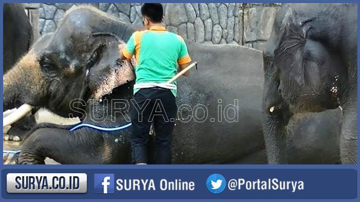 3 Gajah Tunggang Maharani Zoo Lamongan Tarifnya Rp 20 000