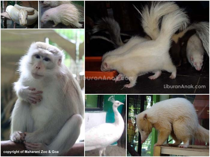 Intip Yuk Hewan Unik Albino Maharani Zoo Berita Lamongan Istilah