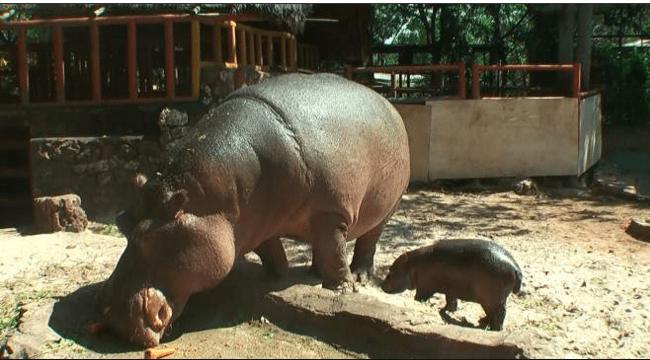 Kebun Binatang Maharani Lamongan Koleksi Satwa Militan Id Zoo Goa