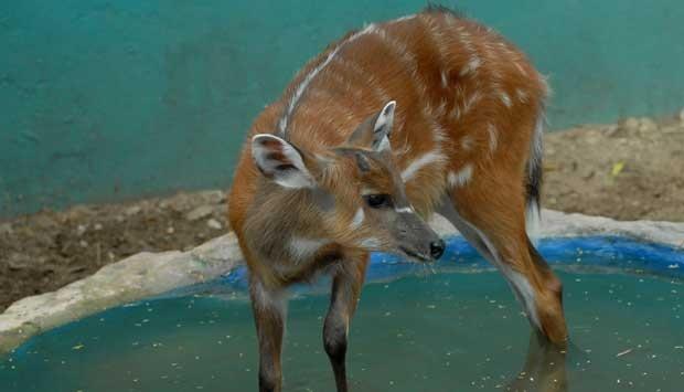 Selama Puasa Kebun Binatang Maharani Sepi Travel Tempo Seekor Sitatunga