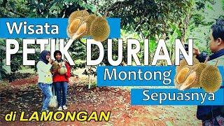 Download Wisata Wego Lamongan Unik Edukatif Edukasi Petik Durian Montong