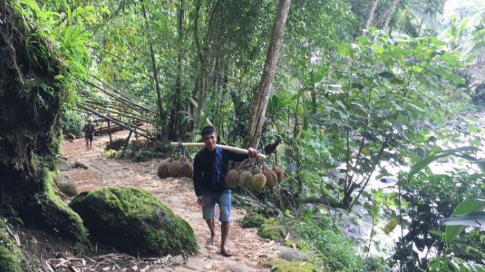 Yuk Wisata Sekaligus Panen Durian Baduy Tribun Jogja Perkampungan Tradisional