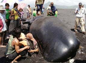 Terdampar Pantai Bambang Lumajang Paus Kab