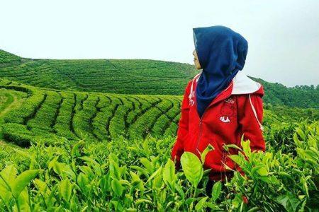 Agro Wisata Kebun Teh Kertowono Kota Lumajang Perkebunan Kab