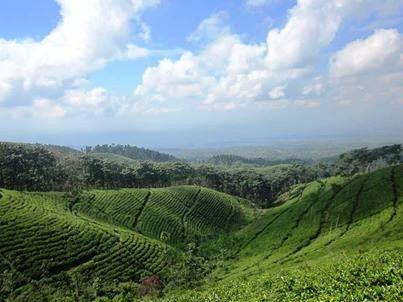 Gucialit Lumajang Daerah Sejuta Pesona Wisata Kecamatan Perkebunan Teh Kertowono