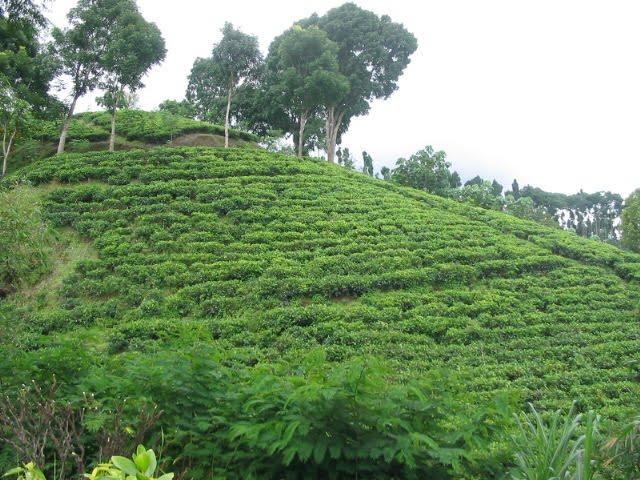 Indahnya Panorama Kebun Teh Kertowono Lumajang Oleh Heri Agung Kabupaten
