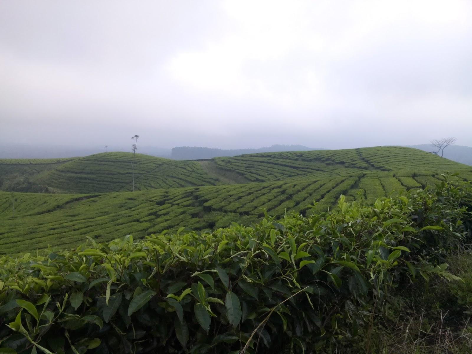 Perkebunan Teh Kertowono Lumajang Hamparan Dikelilingi Jawa Timur Kab