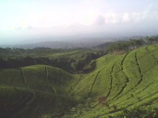 Pesona Alam Gucialit Lumajang Kecamatan Tersebut Menyimpan Sebuah Kebun Teh