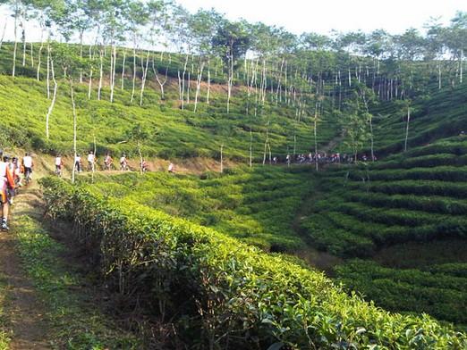 Pesona Keindahan Wisata Kebun Teh Kertowono Gucialit Lumajang Perkebunan Kab
