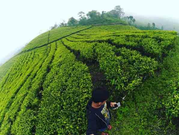 Tempat Wisata Lumajang Terbaru 2018 Indah Rekomended Kebun Teh Perkebunan