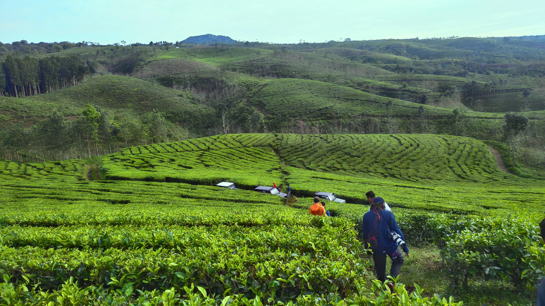 Wisata Kuliner Menyeruput Pengalaman Teh Gucialit Produk Perkebunan Kertowono Awalnya