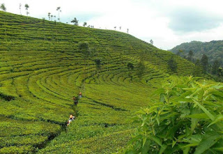 Wisata Kulinere Indahnya Panorama Kebun Teh Kertowono Lumajang Jaw Perkebunan