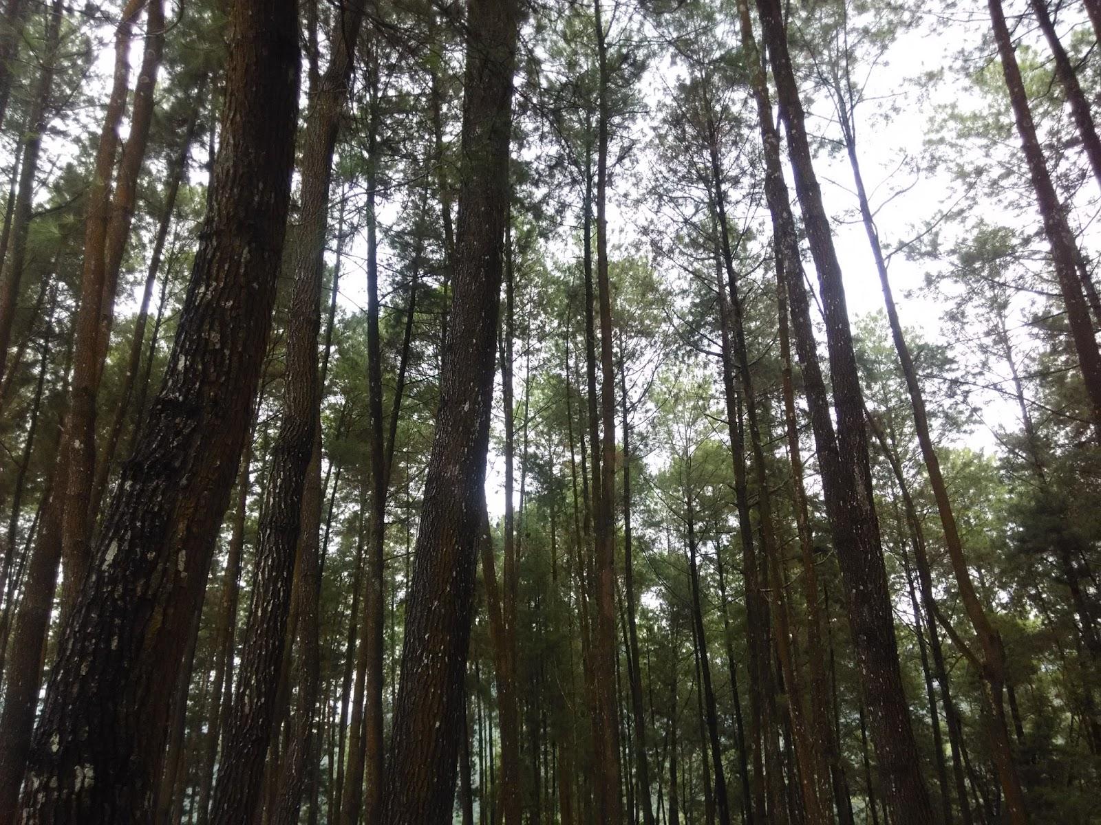 Destinasi Wisata Hutan Pinus Nongko Ijo Kecamatan Kare Kab Madiun