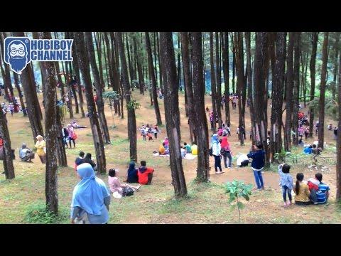 Hutan Pinus Nongko Ijo Madiun Bersih Sejuk Alami Agsha Pohon