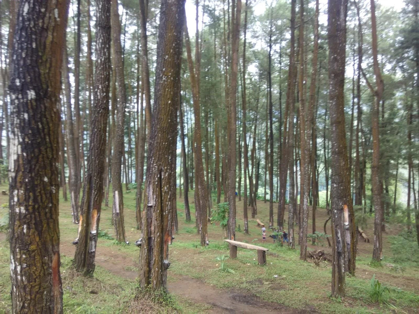Hutan Pinus Nongko Ijo Suasana Objek Wisata Kare Kab Madiun