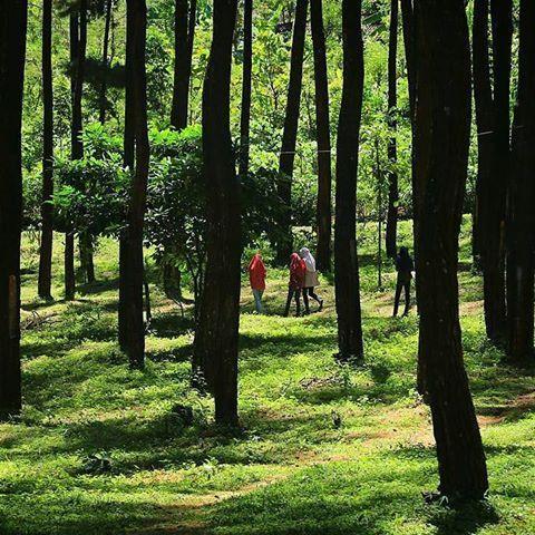 Hutan Pinus Nongko Ijo Wisata Sejuk Kota Madiun Motivasinews Kare