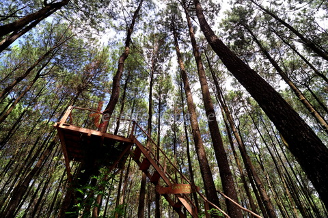 Jowo Pos Object Wisata Hutan Pinus Nongko Ijo Kare Madiun