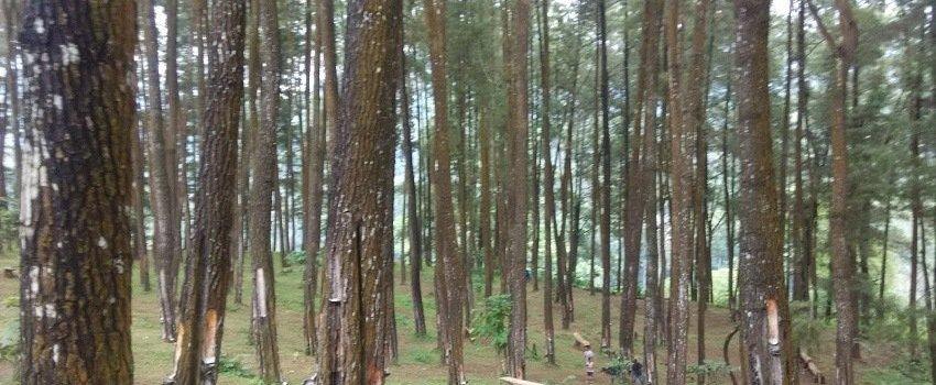 Mencari Hutan Yg Cocok Liburan Kunjungi Pinus Nongko Ijo Mad