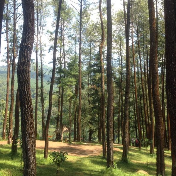 Photos Hutan Pinus Nongko Ijo Kare Photo Amalia 4 15
